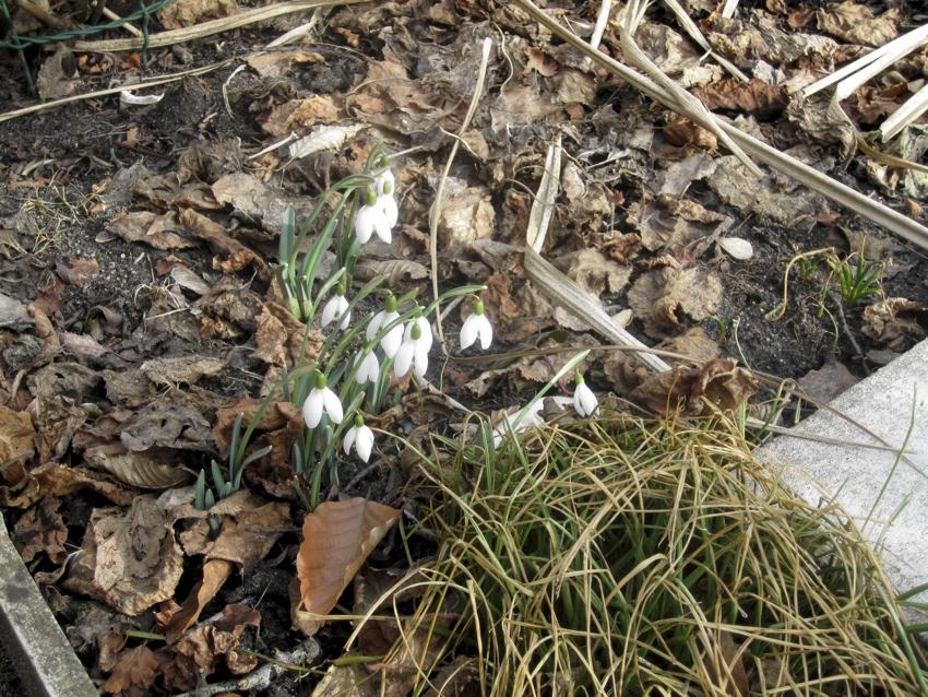 2012-02-15-Schneeglöckchen
